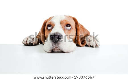 beagle head isolated on a white background