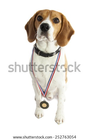 Beagle hound with medal isolated over white - stock photo