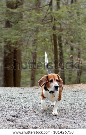 Beagle hunting dog running through the woods following a scent. - stock photo