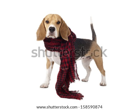 beagle in a checkered scarf on a white background in studio