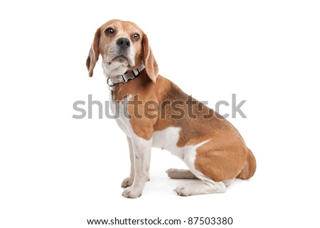 Beagle in front of a white background