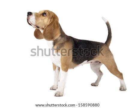 Beagle in front on a white background in studio