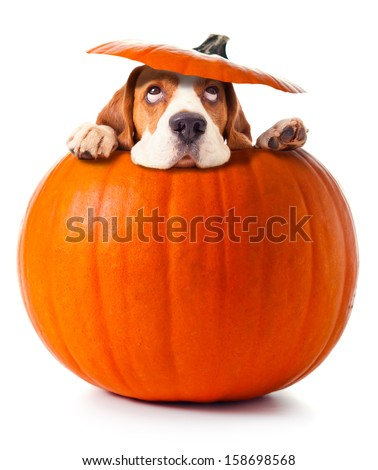beagle in pumpkin isolated on a white background - stock photo