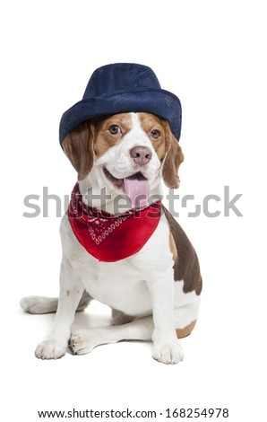 Beagle in skullcap on a white background in studio
