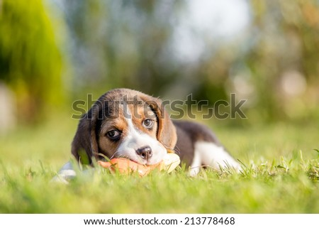 Beagle Is Playing With The Toy in green grass - stock photo