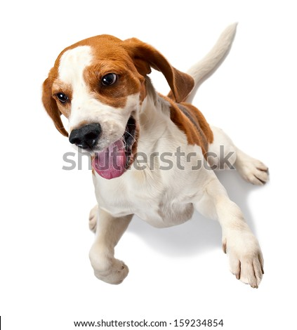 beagle isolated on a white background - stock photo