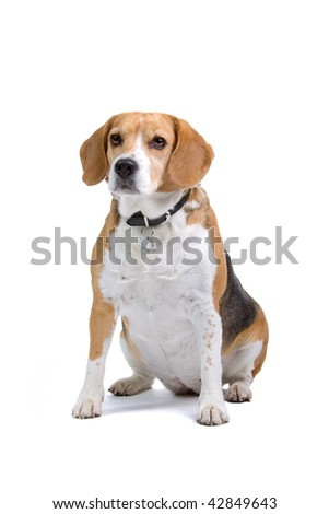 beagle isolated on a white background