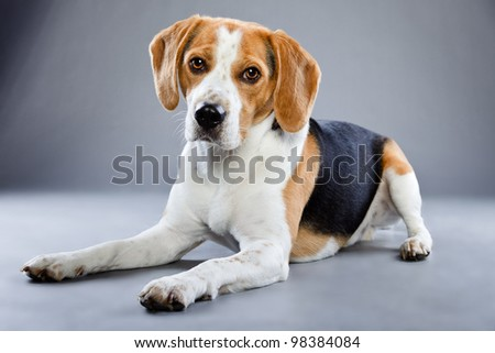 Beagle isolated on grey background. Studio portrait. - stock photo