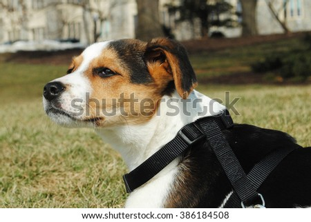 Beagle Jack Russel Terrier dog relaxing on a sunny day in a grass field in Virginia, USA