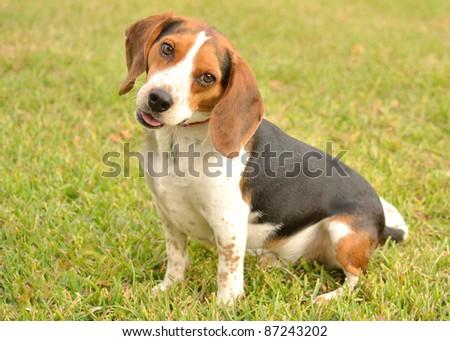 Beagle leash walk - stock photo