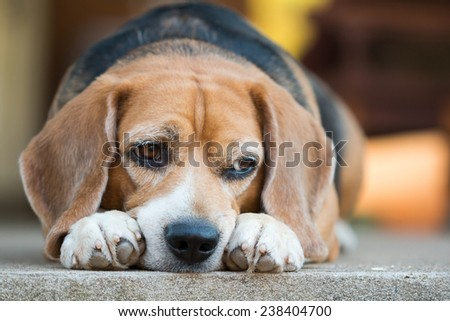 beagle looking for something - stock photo