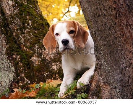 Beagle lying on the ground between trees - stock photo