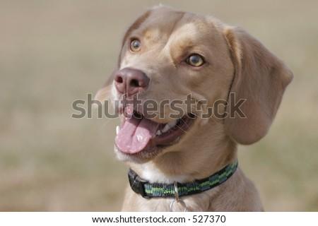beagle mix - stock photo