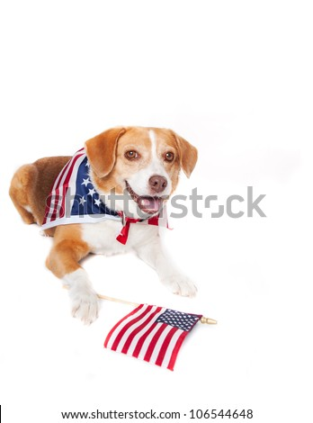 Beagle mixed breed Dog with the American flag on her neck - stock photo