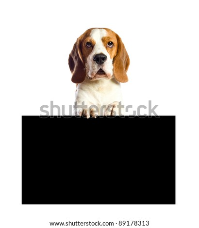 beagle  on a white background.Place your text on a black background.