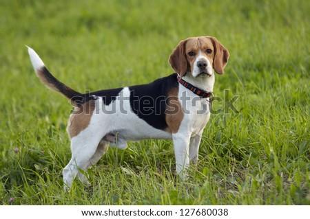 beagle on meadow - pedigree dog - stock photo