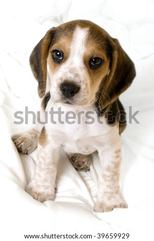 Beagle pup sitting on a blanket