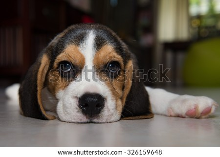 beagle puppy, beagle puppy at home. - stock photo