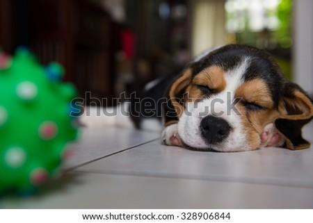 beagle puppy, beagle  puppy sleeping - stock photo