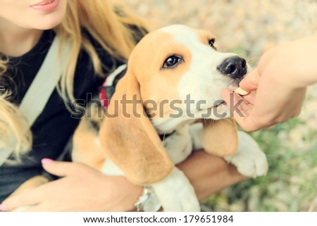 beagle puppy dog eating from hand in woman's arms - stock photo