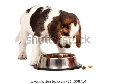 Beagle puppy dog that eating on a white background - stock photo