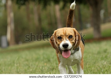 Beagle puppy in park walking with tail up - stock photo