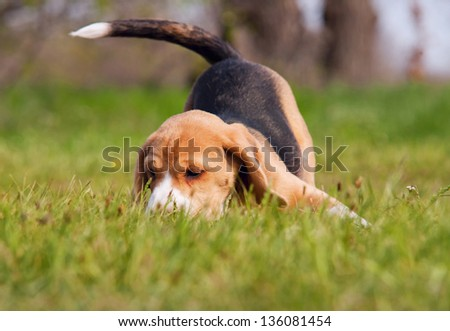 Beagle puppy in playing pose at the green meadow - stock photo