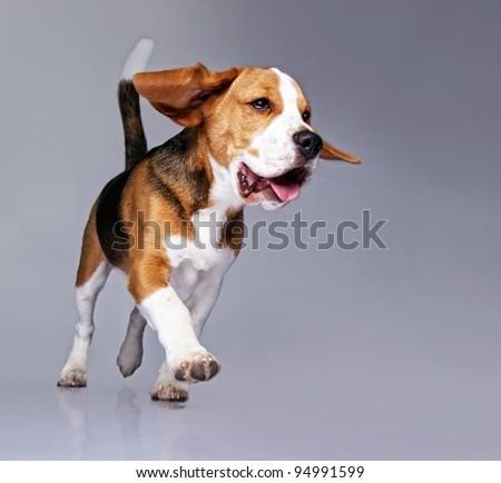 Beagle puppy isolated on grey background - stock photo