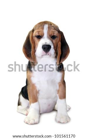 Beagle puppy isolated on white background - stock photo