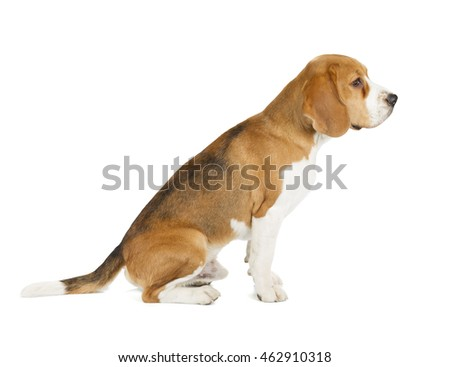 Beagle puppy isolated on white background. Side view, sitting, looking away