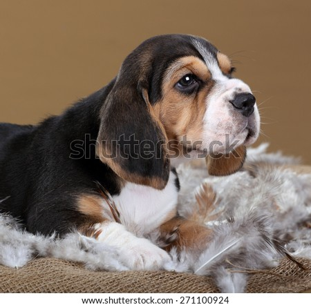 Beagle puppy lying in feathers, portrait