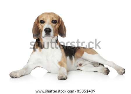 Beagle puppy lying on white background