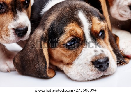 Beagle Puppy, 1 month old,  lying in front of white background. muzzle puppy close-up - stock photo