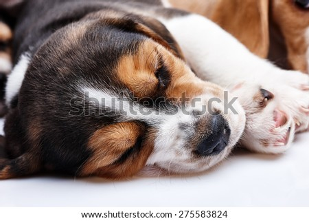 Beagle Puppy, 1 month old,  sleeping in front of white background. muzzle puppy close-up - stock photo