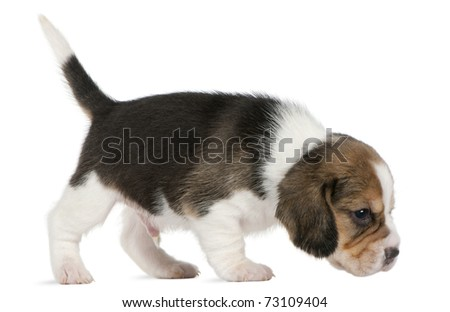 Beagle Puppy, 1 month old, walking in front of white background - stock photo