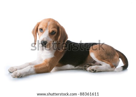 beagle puppy over white background