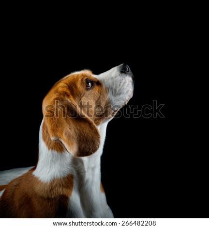 Beagle puppy portrait in studio over a dark background - stock photo