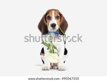 Beagle puppy portrait on a white background