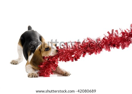 Beagle puppy pulling on a Christmas Decoration - stock photo