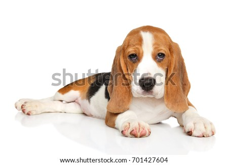 Beagle puppy resting lying on white background