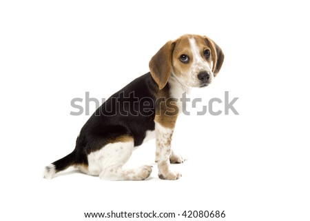 Beagle puppy Side Look