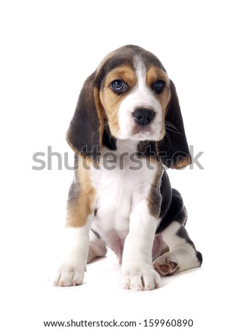 beagle puppy sitting on a white background in studio - stock photo