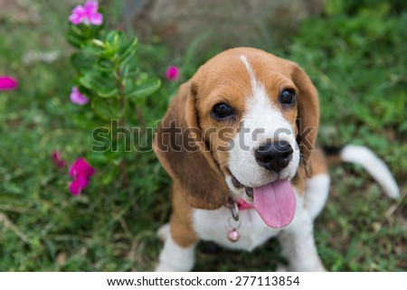 Beagle puppy sitting on green grass - stock photo