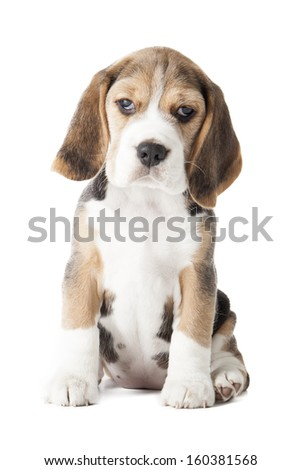 beagle puppy sniffing the surface isolated on white background