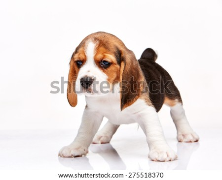 Beagle puppy standing on the white background