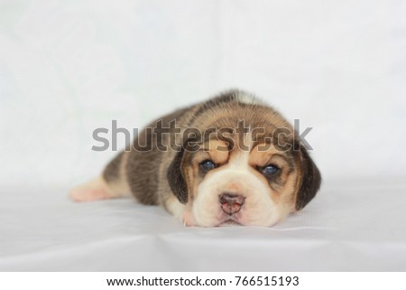 Simple Small Beagle Adorable Dog - stock-photo-beagle-puppy-with-tricolor-isolated-on-white-background-portrait-cute-dog-small-puppy-looking-up-766515193  Gallery_62897  .jpg