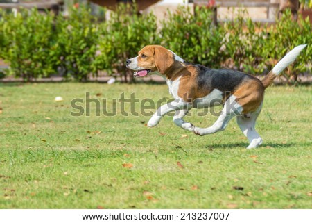 beagle run in a garden