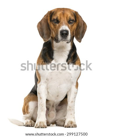 Beagle sitting in front of a white background