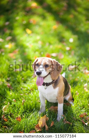 Beagle sitting in green grass - stock photo