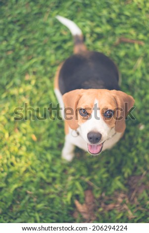 Beagle sitting in green grass with retro filter effect - stock photo